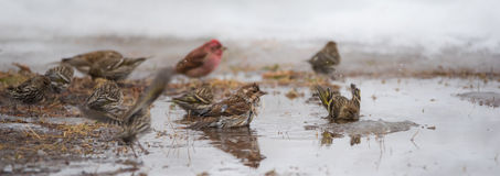 Birds bathing in a newly formed meltwater puddle of early March snow thaw. Royalty Free Stock Images
