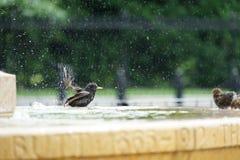 Birds bathing royalty free stock image