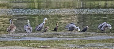 Birds bathing Royalty Free Stock Photo
