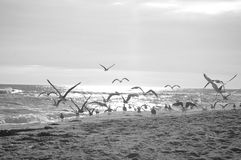 Birds on beach. In black and white royalty free stock photography