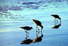 Birds on the beach royalty free stock image