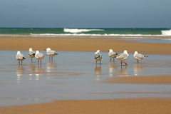 Birds at the beach. Seagulls having their legs in the water at the beach Royalty Free Stock Image