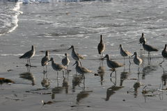 Birds on the beach. Looking after food in the wet sand Royalty Free Stock Images