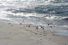 Birds on beach. Birds flying over sunny beach on the danish island Anholt Royalty Free Stock Photos