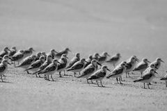 Birds on Beach. Flock of birds on the shores of the beach Stock Photography