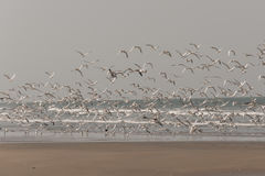 Birds on the beach. Birds flying on the beach, the Gambia Stock Photography