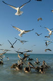 Birds on the beach of Holbox Royalty Free Stock Photography