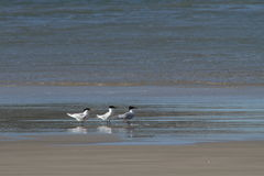 Birds on the beach Royalty Free Stock Images