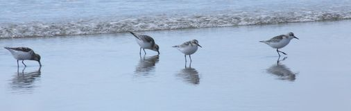 Birds on beach by sea Royalty Free Stock Images