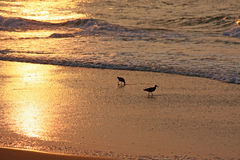 Birds on beach at sunrise. Two shore birds at the edge of the water on a beach at sunrise Stock Photography
