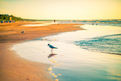 Birds at the beach sunset. Birds freedom at the beach sunset evening light Royalty Free Stock Photography