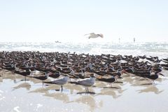 Birds At The Beach Royalty Free Stock Image