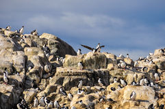 Birds, Beagle Channel, Ushuaia, Argentina. A large flock of birds on a rock in Beagle Channel, Ushuaia, Argentina royalty free stock photos