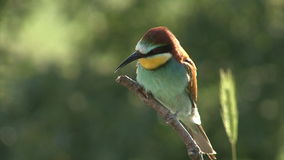 Birds Bee-eaters performing nesting games on perch