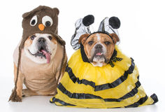 Birds and the bees. English bulldogs dressed up like the birds and the bees on white background stock images