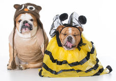 Birds and the bees. English bulldogs dressed up like the birds and the bees on white background Stock Photos