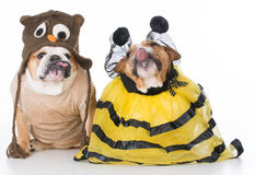 Birds and the bees. English bulldogs dressed up like the birds and the bees on white background royalty free stock images