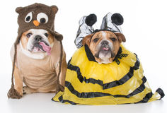 Birds and the bees. English bulldogs dressed up like the birds and the bees on white background stock image