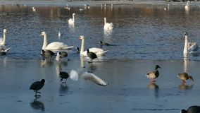 Birds behavior. Of the icy Danube.Ducks, swans, gulls and coots in 4k video stock video footage