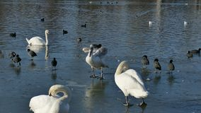 Birds behavior. Of the icy Danube.swans and coots in 4k video stock video footage