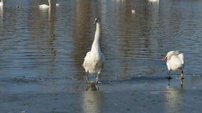 Birds behavior. Of the icy Danube.swans in 4k video stock video footage