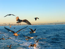 Birds behind a boat. Seagulls following a boat Royalty Free Stock Photos