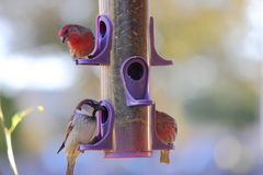 Birds at Bird Feeder Royalty Free Stock Photo
