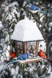 Birds on bird feeder in winter. Bird feeder in winter with blue jays and cardinals Stock Photos