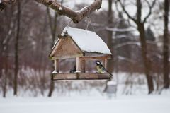 Birds in the bird feeder in the winter snow forest. Little birds in the bird feeder in the winter snow forest. Titmouse sits on a branch. House for birds. A Stock Image