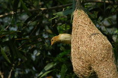 Birds and bird nests Royalty Free Stock Images