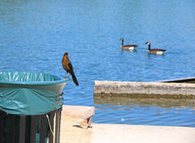 Birds. A bird on a trash can with two ducks in the background Stock Photography
