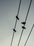 Birds. Bird on the wire at Lumpini park Bangkok Royalty Free Stock Photos