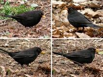 Birds blackbirds Stock Images