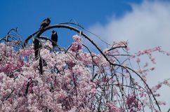 Birds on blooming cherry tree Stock Photos