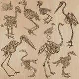 Birds Bones, Skeletons - freehands, vector Stock Photos