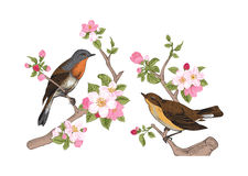 Birds on a branch of apple. Vintage vector spring card. Birds on a branch of apple blossoms pink flowers stock illustration