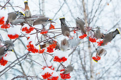 Birds on a branch of rowan royalty free stock image