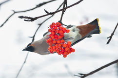 Birds on a branch of rowan Royalty Free Stock Photos