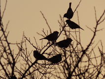 Birds on a branch at sunset Royalty Free Stock Image