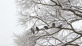 Pigeons sit on a tree in a winter forest. Birds on the branches of a tree in a park in the winter. Pigeons sit on a tree in a winter forest stock video footage