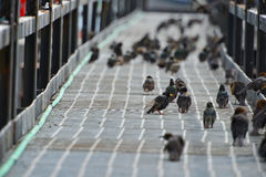 Birds on a bridge Royalty Free Stock Images