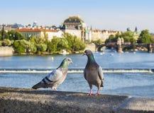 Birds on the bridge, Prague in background, Czech Republic. Stock Images