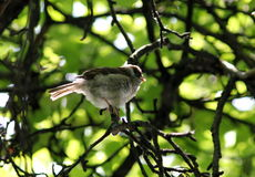 Birds Of Britain And Europe. Little bird on branch between green leaves in summer park Moscow Rassia stock photography