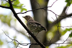 Birds Of Britain And Europe. Little bird on branch between green trees in summer park Moscow Rassia stock image