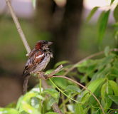 Birds Of Britain And Europe. Little wet bird after raun on branch between green leaves in summer park Moscow Rassia wet sparrow brown stock photography