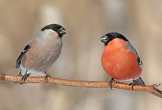birds bullfinch male and female on the branch next Stock Images