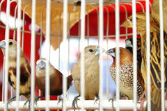 Birds in Cage. Many birds inside a white cage stock image