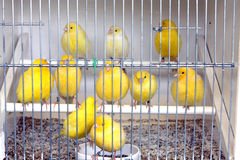 Birds in cage. Yellow birds in a cage on a bird market Royalty Free Stock Photography