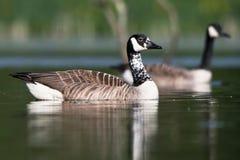 Canada Goose, Branta Canadensis Stock Photo