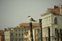 Birds on the canal in Venice Royalty Free Stock Image